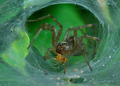 Funnel-Web Spider stack 12 pics