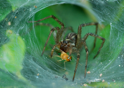 Funnel-Web Spider with prey, stack 6