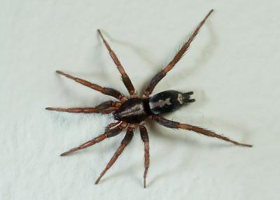 Ground spiders (Gnaphosidae)