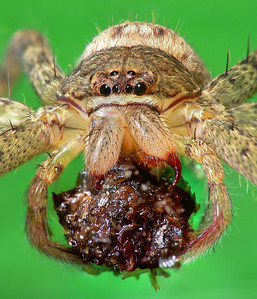 Huntsman Spiders (Sparassidae)