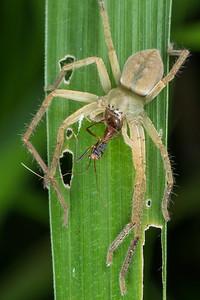 Huntsmam spider with prey