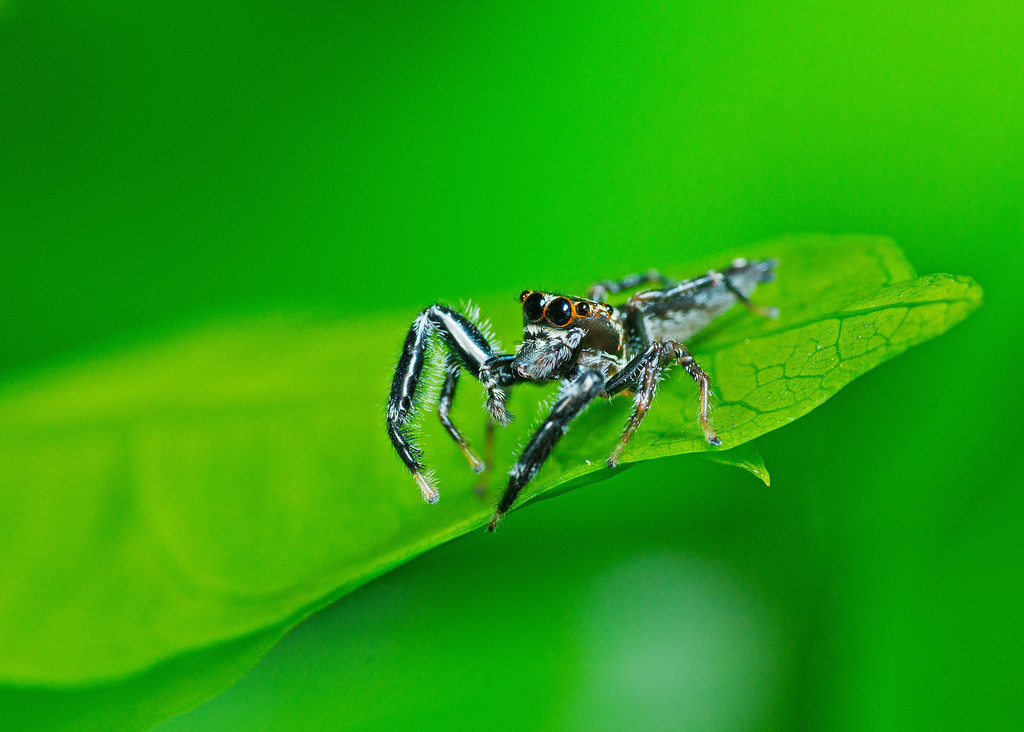 Bavia Jumping Spider (Male)