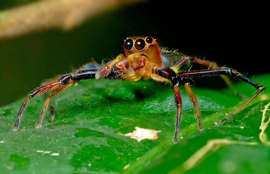 Jumping Spider: Stack 6 images