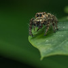 Jumping Spider 02771-Edit