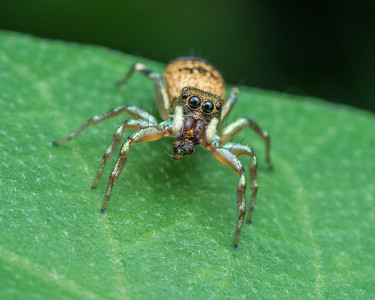 Cosmophasis Jumping Spider