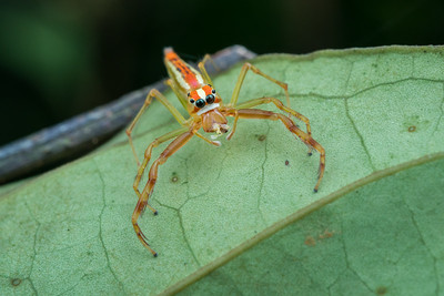 Wide-Jawed Viciria Jumping Spider
