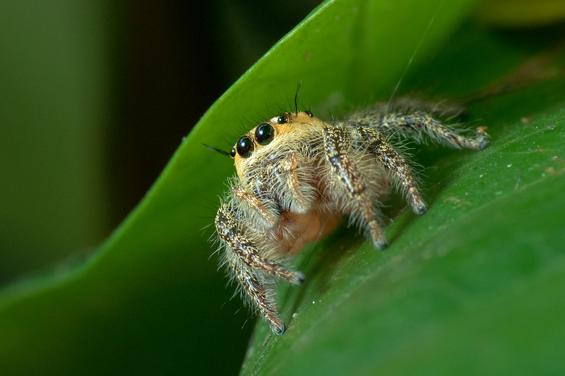 Heavy Jumping Spider 08764