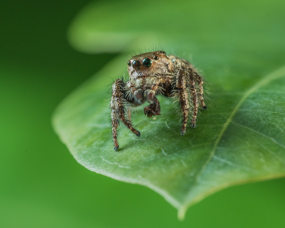 Anarrhotus, Jumping Spider