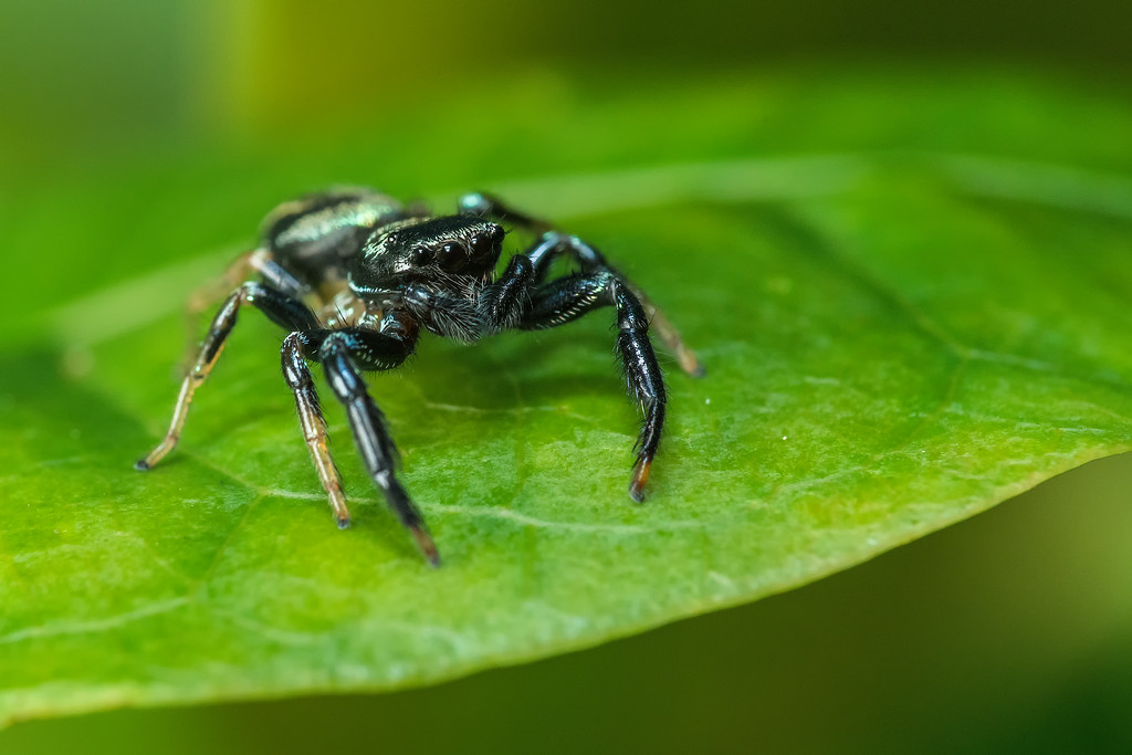 Fighting Spider Thiania bhamoensis 02105-Edit
