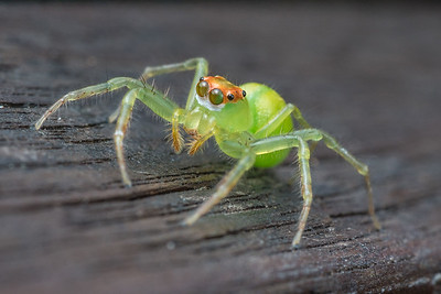 Yellow-lined Epeus Jumping Spider