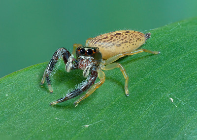 Bavia Jumping Spider (female) Stack 3