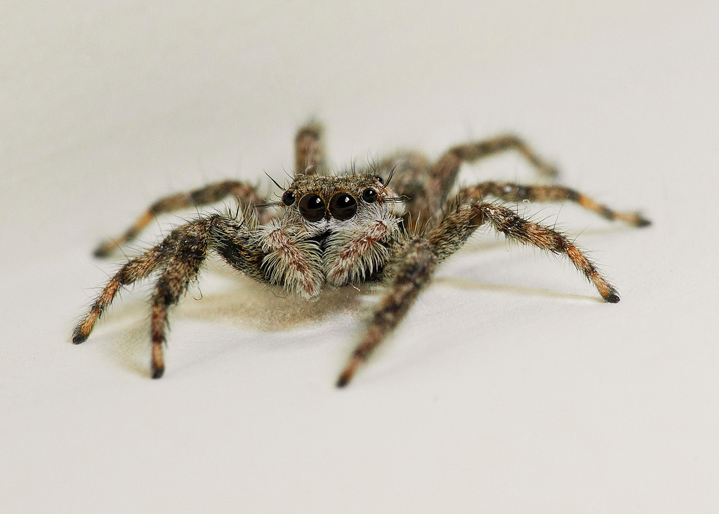 House Jumping spider face
