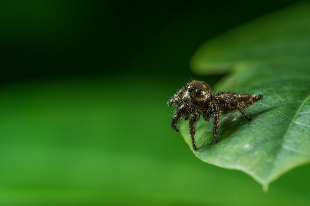 Anarrhotus, Jumping Spider