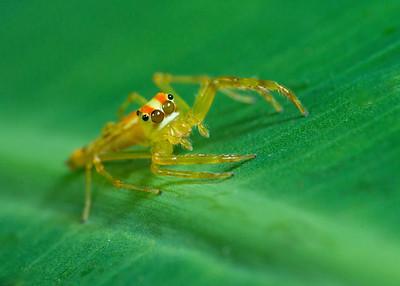 Wide-jawed Viciria (female)