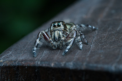 Male Heavy jumping spider (Hyllus diardi)