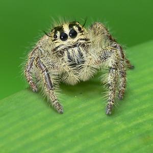 Jumping Spiders (Salticidae)