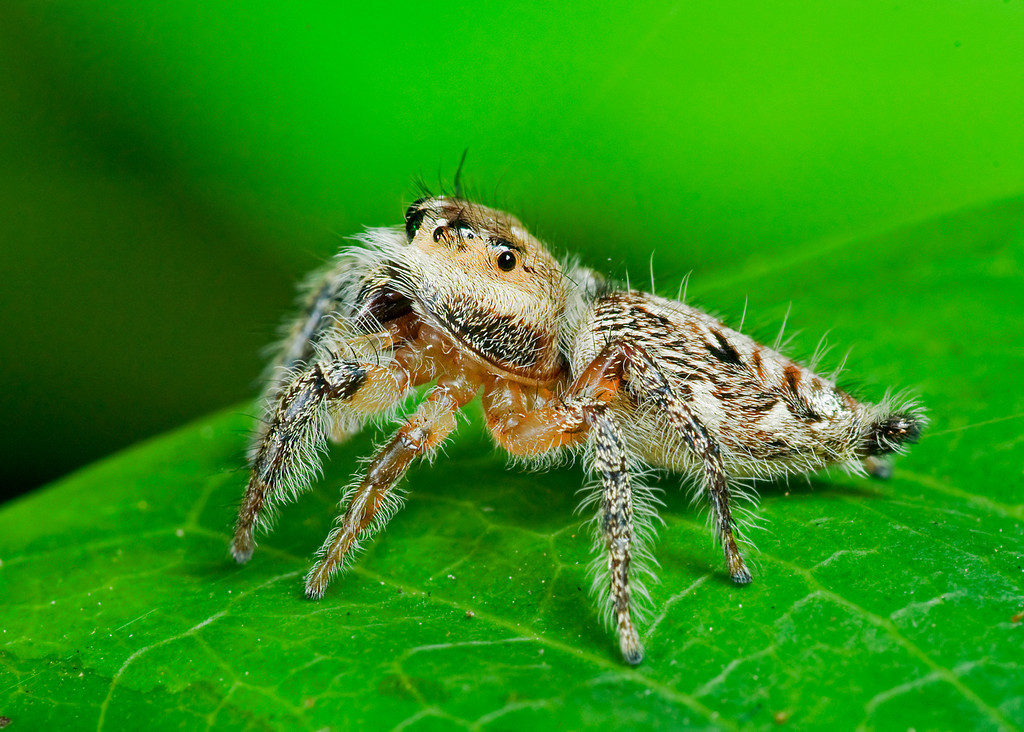 Heavy Jumping Spider side