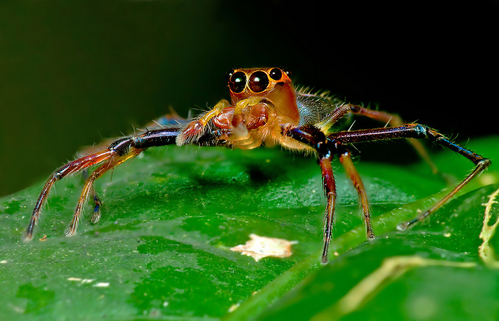 Jumping Spider stack 6 images