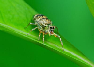 Thiana Spider