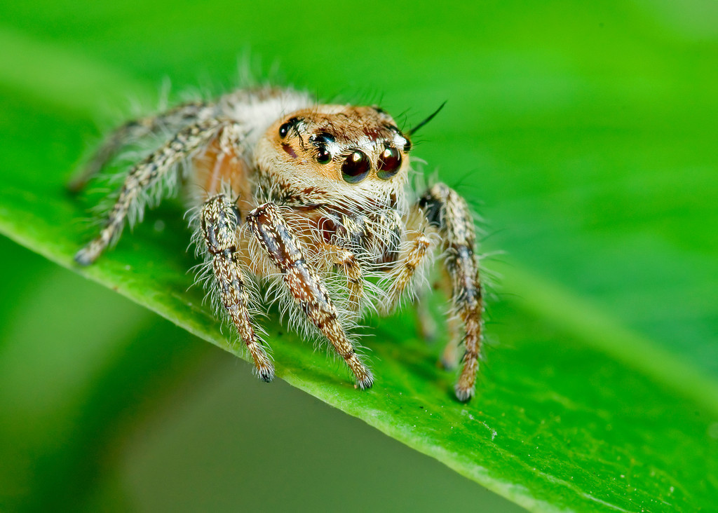 Heavy Jumping Spider down
