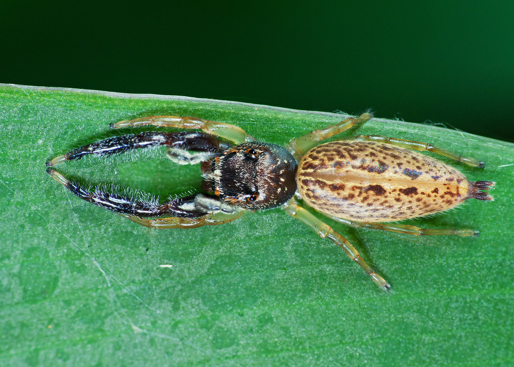 Bavia Jumping Spider (female) Stack 2