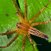 Nursery Web Spider Top