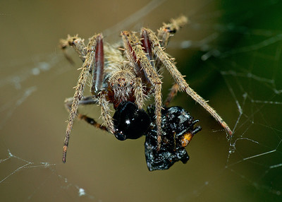 Orb web spider with prey