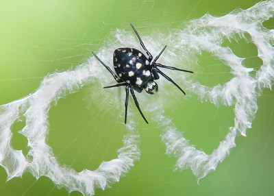 Orb Web Spiders (Araneidae)