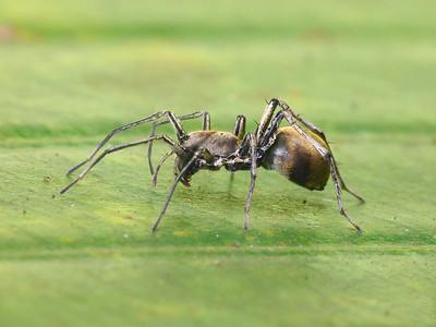 Sac Spiders (Clubionidae)