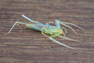 Green Sac Spider