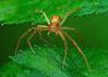 Crab Spider Stack 7