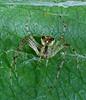 Orbweb spider stack 3