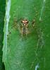 Orb Web Spider Stack 2