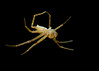 Mission impossible crab spider