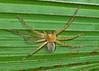 Slender Sac Spider