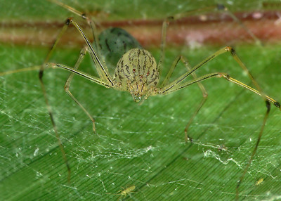 Pale Spitting Spider (Scytodes pallida) In nest
