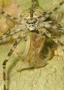 Common Two-Tailed Spider  meal 9164