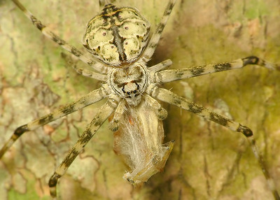 top Common Two-Tailed Spider  9256