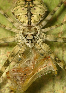 Common Two-Tailed Spider  top 9153