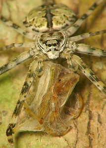 Common Two-Tailed Spider frt 9191