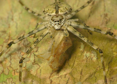 Common Two-Tailed Spider 9241