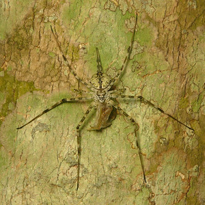 Common Two-Tailed Spider top