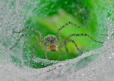 Wolf spider at home
