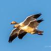 Snow Geese - Anahuac National Wildlife Refuge