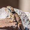 Desert Spiny Lizard - Cibolo Creek Ranch