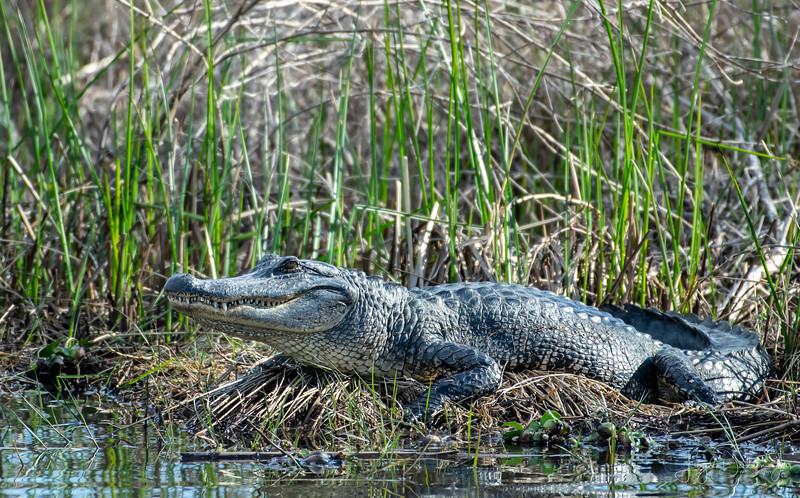 Alligator - Anahuac National Wildlife Refuge