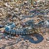 Black-tailed Rattlesnake - Big Bend National Park