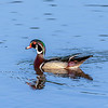 Wood Duck - Waller County, Texas