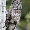 Great Grey Owl - Grand Teton National Park