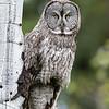 Great Grey Owl - Grand Teton National Park
